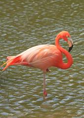 Closing in (iorus and bela) Tags: pink holiday bird flamingoes flamingo cuba bela ecovillage 2016 lasterrazas iorus