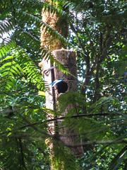 """La Réserve de Monteverde: un Quetzal Resplendissant mâle dans son nid. Seules les longues plumes de sa queue dépassent du nid. <a style=""""margin-left:10px; font-size:0.8em;"""" href=""""http://www.flickr.com/photos/127723101@N04/26945556205/"""" target=""""_blank"""">@flickr</a>"""