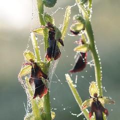 20160526-022F (m-klueber.de) Tags: flora orchidaceae orchidee rhn ophrys fliegen 2016 insectifera ragwurz europische fliegenragwurz rhnflora ophinse mitteleuropische mkbildkatalog 20160526 20160526022f