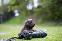 Photographers assistant (anne.olaussen) Tags: camera dog puppy lab labrador chocolate retriever 5weeks d700