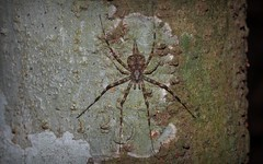 Long-spinneret Bark Spider (dustaway) Tags: nature rainforest australia nsw arthropoda rotarypark arachnida lismore araneae araneomorphae australianspiders northernrivers hersiliidae barkspider tamopsisbrisbanensis