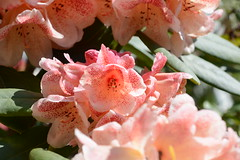 Peachy (quintinsmith_ip) Tags: flowers grass hotel grasmere grounds wordsworth wordsworthhotelandspa