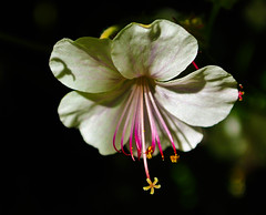 Storchschnabel - Geranium (Kat-i) Tags: pink flower macro bayern deutschland licht blossom rosa kati blume geranium makro blte schatten garten katharina 2016 storchschnabel zierpflanze nikon1v1