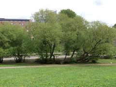 Piletre (mrjorgen) Tags: willow willowtree salix piletre
