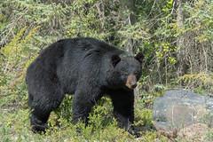 Black Bear Highway 1 (Arctic_Coyote) Tags: camping summer canada outdoors wildlife nwt roadtrip arctic adventure wilderness northwestterritories blackbear nwtparks