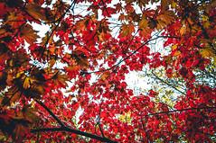 Autmn Throwback (Adrian-D.) Tags: city red sky sun color tree fall nature yellow leaf warm laub herbst blatt leafes bltter baum autmn marple