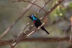 Shining Sunbird at Wadi Darbat S24A8500 (grebberg) Tags: male bird march oman sunbird 2016 dhofar wadidarbat cinnyris cinnyrishabessinicus shiningsunbird