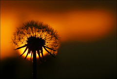 Low Light (McRusty) Tags: light sunset flower beautiful silhouette scotland back weed estate place angle natural outdoor head low seed jour dandelion wrong highland dell lit contre stratherrick