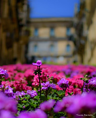 Flowers on the stairs of Caltagirone (ThomasBartelds) Tags: travel flowers italy sicily caltagirone