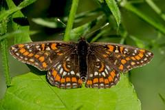 Eschenscheckenfalter (planetvielfalt) Tags: deutschland lepidoptera nymphalidae sachsenanhalt auenwald nymphalinae