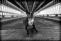 stitch on the walkway (Dave (www.thePhotonWhisperer.com)) Tags: bridge bostonterrier symmetry saskatoon 26bridgesproject