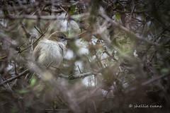 Grey Warbler/Riroriro, Moke Lake, Queenstown (flyingkiwigirl) Tags: lake station walking track ben loop peak merino queenstown ram campground doc lomond range wakatipu moke bobs