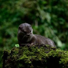 Otter-20160623-37s (Fatcat Al) Tags: en alan district derbyshire centre peak chapel le short frith otter chestnut castleton clawed minnis