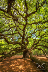 Angel Oak Tree Portrait (Mike Ver Sprill - Milky Way Mike) Tags: old plant tree green art fall sc mike nature beautiful leaves angel forest landscape island photography bay michael spring big crazy amazing oak nikon photographer angle outdoor live branches south fine wide large surreal historic foliage charleston massive serenity carolina serene 28 greatest limbs botany society johns folliage mv ver edisto d800 1424 sprill versprill