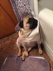 """""""I'm not ready for my close up"""" (bluefairy63) Tags: pug"""