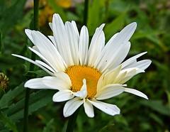 2016-06-25 daisy (1)f (april-mo) Tags: daisy marguerite whiteflower summer t flower fleur nature