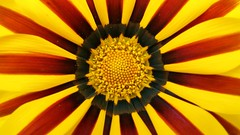 Sol (marco.tiano) Tags: flowers brown sun colors flickr calabria jewel jellow