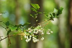 Deerberry Flowers (Donovan Vest) Tags: white plant flower green canon spring bokeh sony 7 fd 80200mm adg nex albinar deerberry f39