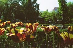 TO Tulips (Georgie_grrl) Tags: she flowers toronto garden kat tulips pentaxk1000 goes follows wherever rikenon12828mm tulipalooza hangingoutwithmskat springshootingshenanigans