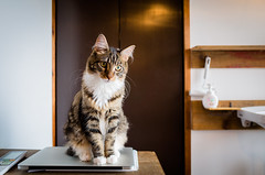 the obstacle (at a cat cafe, Kyoto) (Marser) Tags: japan cat cafe kyoto raw  gr  ricohgr  lightroom grd catcafe