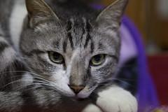 American Shorthair (caz76KOBE) Tags: cats animal japan cat canon eos kyoto  6d  ef100mm eos6d ef100mmf28lmacroisusm ef100mmf28lmacrois