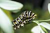 larva (tangaxoan) Tags: macro animal flash estadio larva biodiversidad biología lepidóptero metamorfosis artrópodo