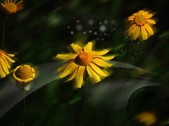 Flores silvestres (Nancy Garza H) Tags: flores planta flor amarillo campo hermosa aire libre magia airelibre yelowflowers