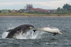 Dolphin Chase (cjdolfin) Tags: summer nature mammal grey scotland marine wind alba dolphin wildlife scottish highland splash calf marinemammal morayfirth cetacean bottlenosedolphin tursiopstruncatus fortrose rossshire chanonrypoint cjdolfin odontocete
