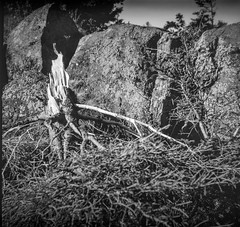 tree stump, rocks, lichen, near Little White Head, Monhegan, Maine, Bencini Koroll S, Fomapan 200, Ilford Ilfosol 3 Developer, 5.23.16 (steve aimone) Tags: blackandwhite tree 120 film monochrome mediumformat rocks maine lichen treestump monhegan monheganisland fomapan200 epsonperfectionv500 littlewhitehead bencinikorolls ilfordilfosol3developer