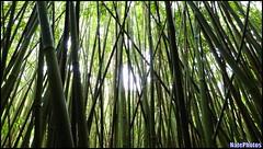 Boo Forest(1) (NatePhotos) Tags: road sunset sea hawaii bay waterfall rainbow cows turtle maui hana jungle waterfalls kapalua rooster eel napili 2016 natephotos