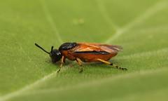 3558 Arge ochropus (jon. moore) Tags: warwickshire hymenoptera rosesawfly prioryfields argeochropus