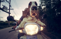 biker hound (polo.d) Tags: road portrait dog fish eye face speed honda movement funny ride shot angle action wide dream hound safety basset motorcycle biker scare