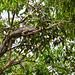 Land Iguana in a Tree, Tortugero, Costa Rica