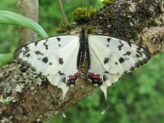 Sericinus montelus (Male) (Lepsibu) Tags: papilionidae