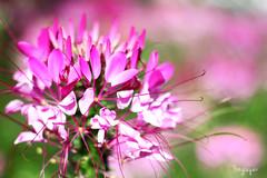 2016060806 (Yo Nguyen) Tags: cleome spiderflowers dalatcity hoatyip