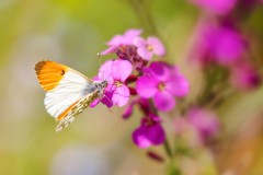 Orange Tip Butterfly (paulapics2) Tags: butterfly orangetipbutterfly anthochariscardamines nature garden wallflower erysimum blumen flower flora fauna insect wings pretty beautifu soft pink orange canon5d sigma105mm