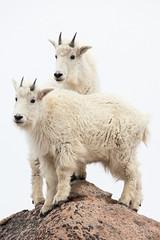 Goats (mhawkins) Tags: mtevans