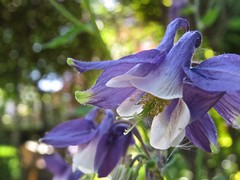 1624 Blue Aquilegia (Andy panomaniacanonymous) Tags: 20160603 aquilegia blue fff flowers garden ggg
