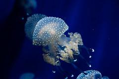 Acquario di Genova (fra_cer) Tags: jellyfish genova acquario blue nature