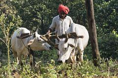 Ploughing farmer (wietsej) Tags: india sony hills farmer buffalos ploughing chhattisgarh maikal a77ii minolta100mmf28dafmacro
