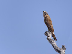 a brown falcon (Fat Burns  (on/off)) Tags: brownfalconlightmorph falcoberigora raptor hawk bird australianbird fauna australianfauna kestrel nikond750 sigma150600mmf563dgoshsmsports sigmatc140114xteleconverternik porcupineflat