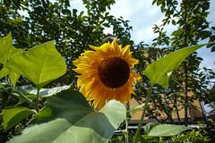 DP0Q2660lr (yoshitoshi ABe) Tags: flower sigma   dp0quattro 20160626