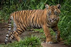 Debbie (ToddLahman) Tags: canon teddy tiger tigers debbie sumatrantiger joanne safaripark escondido canon100400 tigercub babytiger tigertrail sandiegozoosafaripark babysumatrantiger canon7dmkii