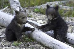 grizzly cubs (Steve Courson) Tags: grizzlybear cubs coy stevecourson yellowstonenationalpark