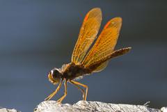 Male Eastern Amberwing Dragonlfy (Chris Bainbridge1) Tags: new mountain dragonfly lakes jersey eastern amberwing perithemis tenera