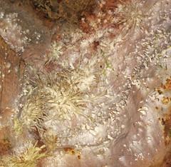 Anthodites (Skyline Caverns, Front Royal, Virginia, USA) 23 (James St. John) Tags: anthodite anthodites speleothem calcite aragonite skyline caverns virginia ordovician beekmantown group rockdale run formation front royal warren county
