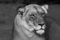 Portrait of a queen (Sheldrickfalls) Tags: southafrica lion lioness thornybush limpopo thornybushgamereserve greaterkruger lionesscloseup