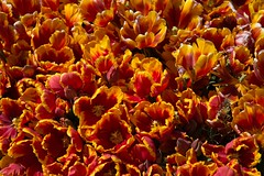 DSC_4216 (Copy) (pandjt) Tags: ca flowers canada bc britishcolumbia tulip abbotsford tulipfestival abbotsfordtulipfestival