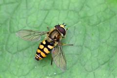 Syrphus ribesii (AndyorDij) Tags: insects insect empingham england rutland uk unitedkingdom 2016