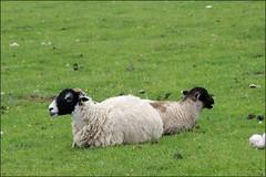 Castlerigg circle Cumbria  18616 (7) (Liz Callan) Tags: sky mountains grass circle outside sheep lakedistrict hills cumbria stonecircle valleys castlerigg castleriggcircle lizcallan lizcallanphotography